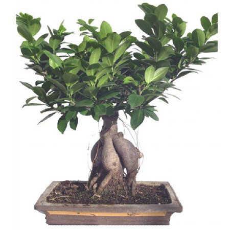 Горшечное растение «Бонсай»