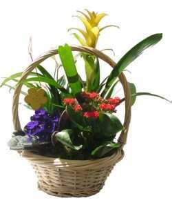 Горшечное растение «Мини-садик в корзине»
