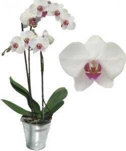 Горшечное растение «Фаленопсис»