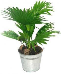 Горшечное растение «Ливистона»