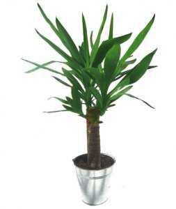 Горшечное растение «Юкка»