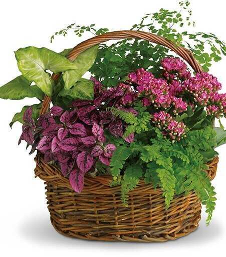 Горшечное растение «Молодо-Зелено»