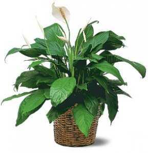 Горшечное растение «Спатифиллум Шопен»