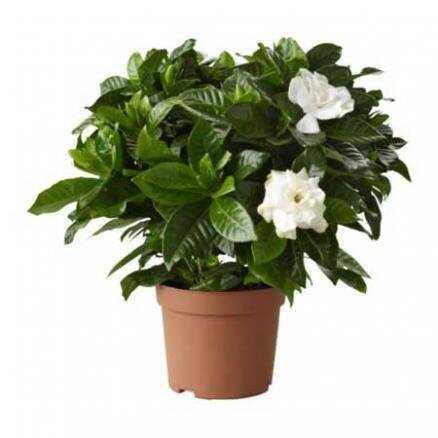 Горшечное растение «Гардения жасминовидная»