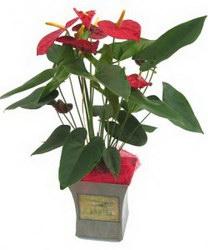 Горшечное растение «Антуриум»
