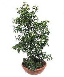 Горшечное растение «Фикус Бенджамина»