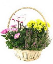 Горшечное растение «Садик в корзине»