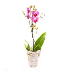 Горшечное растение «Орхидея-Фаленопсис»