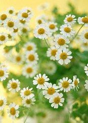 Букет «Любовь и верность (ромашки)»