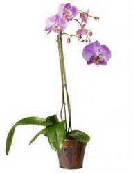 Горшечное растение «Дикая орхидея»