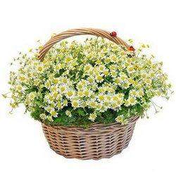 «Любимой ромашки» Композиция в корзине из кустовой ромашки, симпатичных бабочек и божьих коровок. Подарить корзину таких цветов - значит, выразить самые теплые чувства