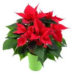 Горшечное растение «Рождественская звезда»