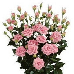 «Розы кустовые»