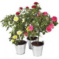 «Роза в горшке»